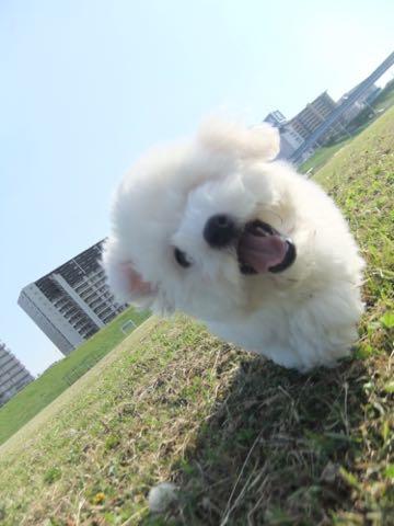 ビションフリーゼフントヒュッテこいぬ画像ビションフリーゼ子犬社会化性格血統チャンピオン犬東京ビションメス関東かわいいビションおとこのこ文京区出産情報ビション募集_630.jpg