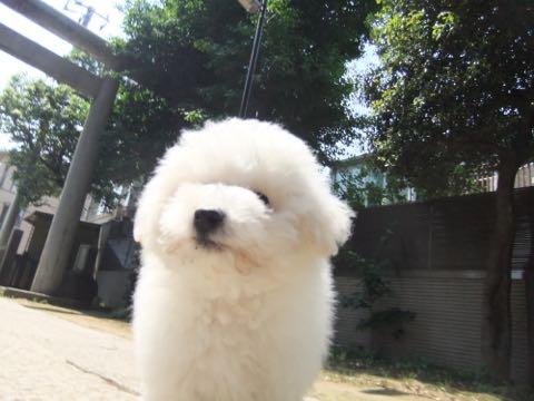 ビションフリーゼフントヒュッテこいぬ画像ビションフリーゼ子犬社会化性格血統チャンピオン犬東京ビションメス関東かわいいビションおとこのこ文京区出産情報ビション募集_651