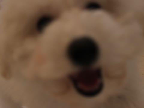 ビションフリーゼフントヒュッテこいぬ画像ビションフリーゼ子犬社会化性格血統チャンピオン犬東京ビションメス関東かわいいビションおとこのこ文京区出産情報ビション募集_654