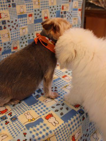 ビションフリーゼフントヒュッテこいぬ画像ビションフリーゼ子犬社会化性格血統チャンピオン犬東京ビションメス関東かわいいビションおとこのこ文京区出産情報ビション募集_666