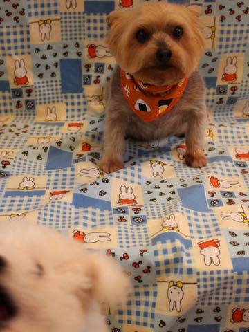 ビションフリーゼフントヒュッテこいぬ画像ビションフリーゼ子犬社会化性格血統チャンピオン犬東京ビションメス関東かわいいビションおとこのこ文京区出産情報ビション募集_670