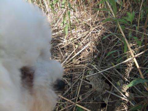 ビションフリーゼフントヒュッテこいぬ画像ビションフリーゼ子犬社会化性格血統チャンピオン犬東京ビションメス関東かわいいビションおとこのこ文京区出産情報ビション募集_710.jpg