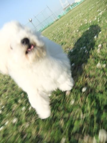 ビションフリーゼフントヒュッテこいぬ画像ビションフリーゼ子犬社会化性格血統チャンピオン犬東京ビションメス関東かわいいビションおとこのこ文京区出産情報ビション募集_718.jpg