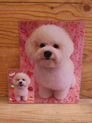 ビションフリーゼ子犬フントヒュッテこいぬ家族募集里親関東_3353.jpg