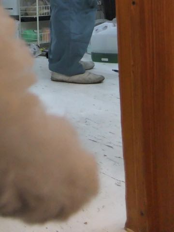 ビションフリーゼフントヒュッテこいぬ画像ビションフリーゼ子犬社会化性格血統チャンピオン犬東京ビションメス関東かわいいビションおとこのこ文京区出産情報ビション募集_721.jpg