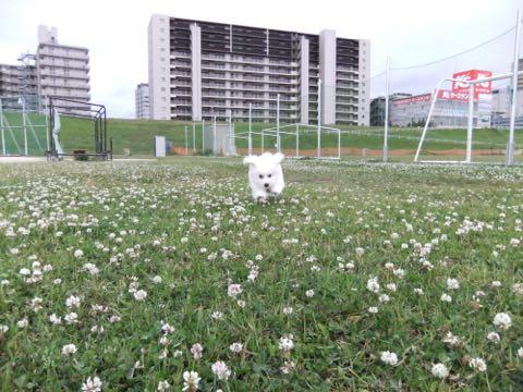 ビションフリーゼフントヒュッテこいぬ画像ビションフリーゼ子犬社会化性格血統チャンピオン犬東京ビションメス関東かわいいビションおとこのこ文京区出産情報ビション募集_736.jpg