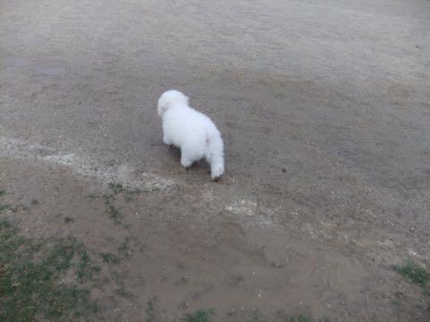 ビションフリーゼフントヒュッテこいぬ画像ビションフリーゼ子犬社会化性格血統チャンピオン犬東京ビションメス関東かわいいビションおとこのこ文京区出産情報ビション募集_760.jpg