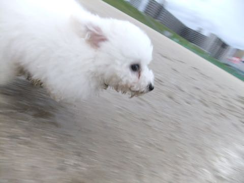 ビションフリーゼフントヒュッテこいぬ画像ビションフリーゼ子犬社会化性格血統チャンピオン犬東京ビションメス関東かわいいビションおとこのこ文京区出産情報ビション募集_769.jpg