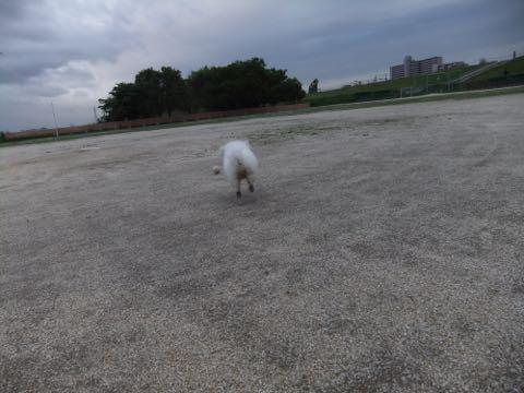 ビションフリーゼフントヒュッテこいぬ画像ビションフリーゼ子犬社会化性格血統チャンピオン犬東京ビションメス関東かわいいビションおとこのこ文京区出産情報ビション募集_780.jpg