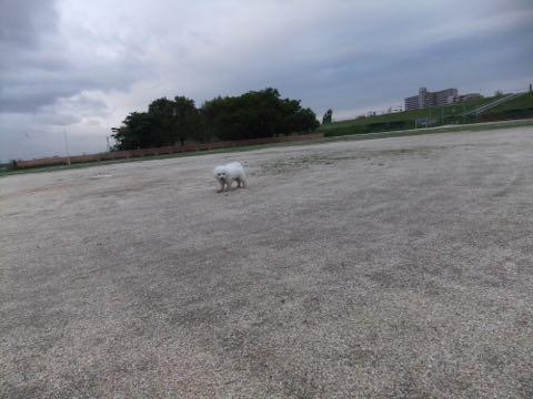 ビションフリーゼフントヒュッテこいぬ画像ビションフリーゼ子犬社会化性格血統チャンピオン犬東京ビションメス関東かわいいビションおとこのこ文京区出産情報ビション募集_781.jpg