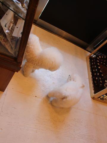 ビションフリーゼフントヒュッテこいぬ画像ビションフリーゼ子犬社会化性格血統チャンピオン犬東京ビションメス関東かわいいビションおとこのこ文京区出産情報ビション募集_806.jpg