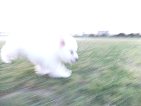 ビションフリーゼフントヒュッテこいぬ画像ビションフリーゼ子犬社会化性格血統チャンピオン犬東京ビションメス関東かわいいビションおとこのこ文京区出産情報ビション募集_826.jpg