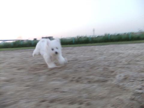 ビションフリーゼフントヒュッテこいぬ画像ビションフリーゼ子犬社会化性格血統チャンピオン犬東京ビションメス関東かわいいビションおとこのこ文京区出産情報ビション募集_834.jpg
