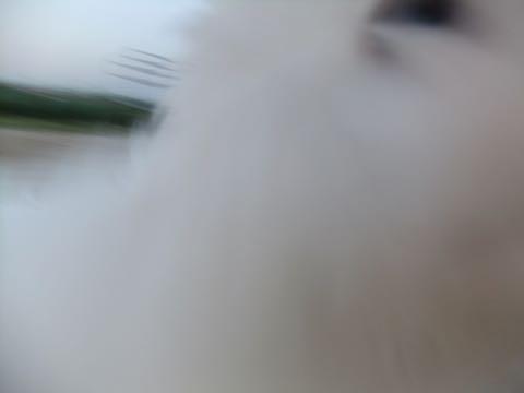 ビションフリーゼフントヒュッテこいぬ画像ビションフリーゼ子犬社会化性格血統チャンピオン犬東京ビションメス関東かわいいビションおとこのこ文京区出産情報ビション募集_836.jpg