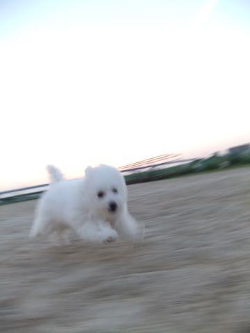 ビションフリーゼフントヒュッテこいぬ画像ビションフリーゼ子犬社会化性格血統チャンピオン犬東京ビションメス関東かわいいビションおとこのこ文京区出産情報ビション募集_838.jpg