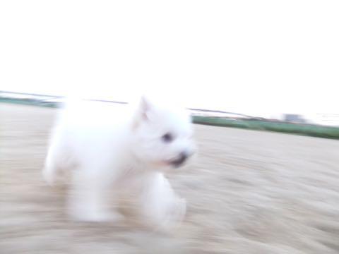 ビションフリーゼフントヒュッテこいぬ画像ビションフリーゼ子犬社会化性格血統チャンピオン犬東京ビションメス関東かわいいビションおとこのこ文京区出産情報ビション募集_840.jpg