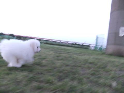 ビションフリーゼフントヒュッテこいぬ画像ビションフリーゼ子犬社会化性格血統チャンピオン犬東京ビションメス関東かわいいビションおとこのこ文京区出産情報ビション募集_845.jpg