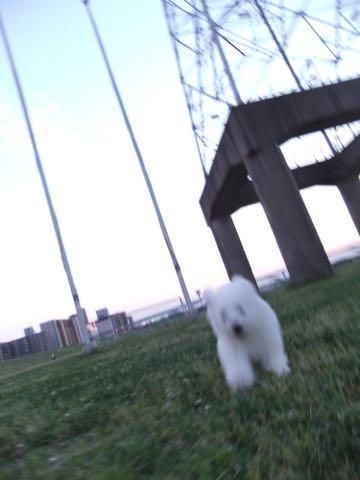 ビションフリーゼフントヒュッテこいぬ画像ビションフリーゼ子犬社会化性格血統チャンピオン犬東京ビションメス関東かわいいビションおとこのこ文京区出産情報ビション募集_846.jpg