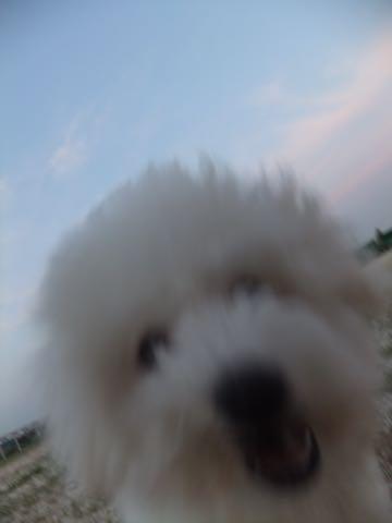 ビションフリーゼフントヒュッテこいぬ画像ビションフリーゼ子犬社会化性格血統チャンピオン犬東京ビションメス関東かわいいビションおとこのこ文京区出産情報ビション募集_848.jpg