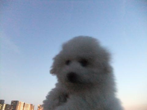 ビションフリーゼフントヒュッテこいぬ画像ビションフリーゼ子犬社会化性格血統チャンピオン犬東京ビションメス関東かわいいビションおとこのこ文京区出産情報ビション募集_864.jpg