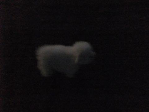ビションフリーゼフントヒュッテこいぬ画像ビションフリーゼ子犬社会化性格血統チャンピオン犬東京ビションメス関東かわいいビションおとこのこ文京区出産情報ビション募集_867.jpg