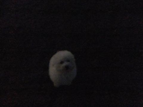 ビションフリーゼフントヒュッテこいぬ画像ビションフリーゼ子犬社会化性格血統チャンピオン犬東京ビションメス関東かわいいビションおとこのこ文京区出産情報ビション募集_869.jpg