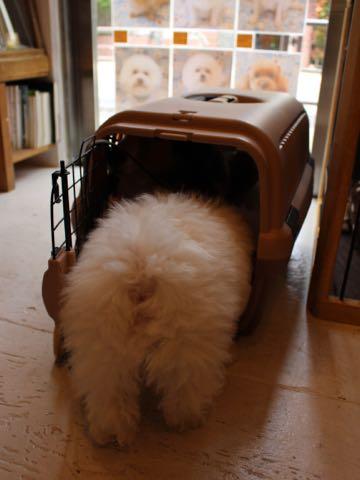 ビションフリーゼフントヒュッテこいぬ画像ビションフリーゼ子犬社会化性格血統チャンピオン犬東京ビションメス関東かわいいビションおとこのこ文京区出産情報ビション募集_877.jpg