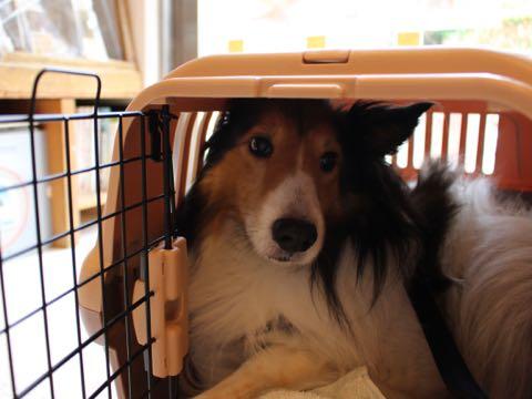 ビションフリーゼフントヒュッテこいぬ画像ビションフリーゼ子犬社会化性格血統チャンピオン犬東京ビションメス関東かわいいビションおとこのこ文京区出産情報ビション募集_878.jpg