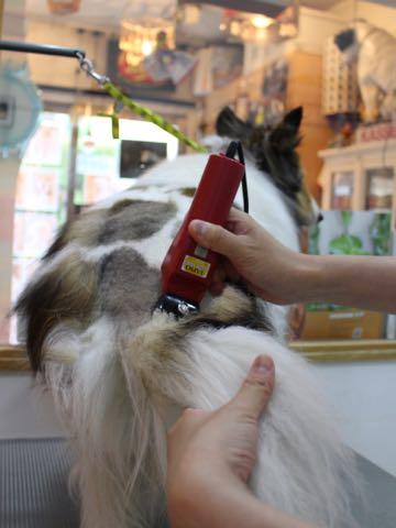 シェットランドシープドッグトリミング文京区フントヒュッテ東京シェルティサマーカット画像犬暑さ対策シェットランド・シープドッグサマーカット駒込hundehutte_3.jpg
