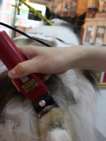 シェットランドシープドッグトリミング文京区フントヒュッテ東京シェルティサマーカット画像犬暑さ対策シェットランド・シープドッグサマーカット駒込hundehutte_4.jpg