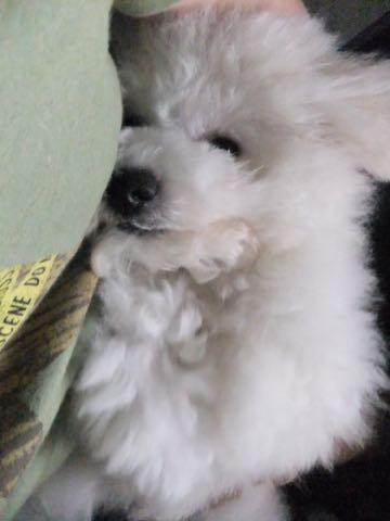 ビションフリーゼフントヒュッテこいぬ画像ビションフリーゼ子犬社会化性格血統チャンピオン犬東京ビションメス関東かわいいビションおとこのこ文京区出産情報ビション募集_911.jpg