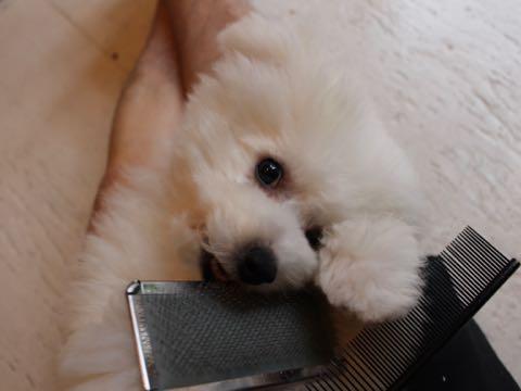 ビションフリーゼフントヒュッテこいぬ画像ビションフリーゼ子犬社会化性格血統チャンピオン犬東京ビションメス関東かわいいビションおとこのこ文京区出産情報ビション募集_924.jpg