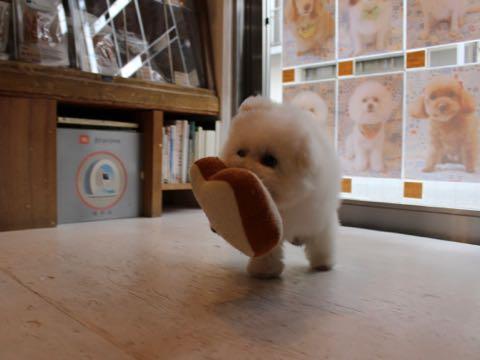 ビションフリーゼフントヒュッテこいぬ画像ビションフリーゼ子犬社会化性格血統チャンピオン犬東京ビションメス関東かわいいビションおとこのこ文京区出産情報ビション募集_927.jpg