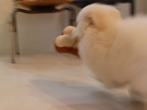 ビションフリーゼフントヒュッテこいぬ画像ビションフリーゼ子犬社会化性格血統チャンピオン犬東京ビションメス関東かわいいビションおとこのこ文京区出産情報ビション募集_929.jpg