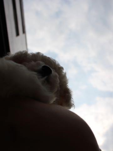 ビションフリーゼこいぬ情報フントヒュッテビションこいぬ画像子犬の社会化ショップビションフリーゼチャンピオン犬血統東京ビションメス関東かわいいビションおとこのこ文京区出産情報性格ビション家族募集中_63.jpg