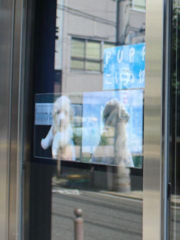 ビションフリーゼこいぬ情報フントヒュッテビションこいぬ画像子犬の社会化ショップビションフリーゼチャンピオン犬血統東京ビションメス関東かわいいビションおとこのこ文京区出産情報性格ビション家族募集中_242