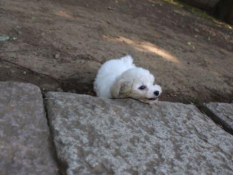 ビションフリーゼこいぬ情報フントヒュッテビションこいぬ画像子犬の社会化ショップビションフリーゼチャンピオン犬血統東京ビションメス関東かわいいビションおとこのこ文京区出産情報性格ビション家族募集中_267