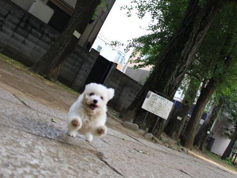 ビションフリーゼこいぬ情報フントヒュッテビションこいぬ画像子犬の社会化ショップビションフリーゼチャンピオン犬血統東京ビションメス関東かわいいビションおとこのこ文京区出産情報性格ビション家族募集中_300
