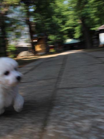 ビションフリーゼこいぬ情報フントヒュッテビションこいぬ画像子犬の社会化ショップビションフリーゼチャンピオン犬血統東京ビションメス関東かわいいビションおとこのこ文京区出産情報性格ビション家族募集中_320.jpg