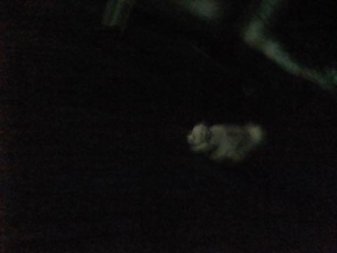 トイ・プードル極小サイズティーカッププードル東京トイプードルトリミング画像フントヒュッテ駒込ビションフリーゼトリミング文京区ペットホテル都内_255.jpg