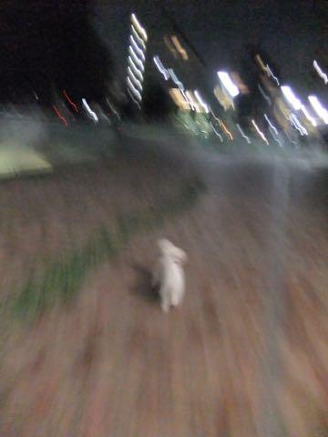 トイ・プードル極小サイズティーカッププードル東京トイプードルトリミング画像フントヒュッテ駒込ビションフリーゼトリミング文京区ペットホテル都内_257.jpg