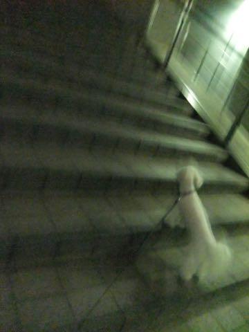 トイ・プードル極小サイズティーカッププードル東京トイプードルトリミング画像フントヒュッテ駒込ビションフリーゼトリミング文京区ペットホテル都内_270.jpg