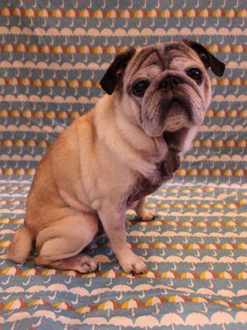 パグトリミング画像フントヒュッテ文京区ペットホテル様子おさんぽ犬おあずかり東京パグ夏短頭種とは鼻ぺちゃ犬パグ性格特徴色Pug_120.jpg
