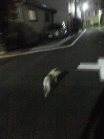 パグトリミング画像フントヒュッテ文京区ペットホテル様子おさんぽ犬おあずかり東京パグ夏短頭種とは鼻ぺちゃ犬パグ性格特徴色Pug_129.jpg