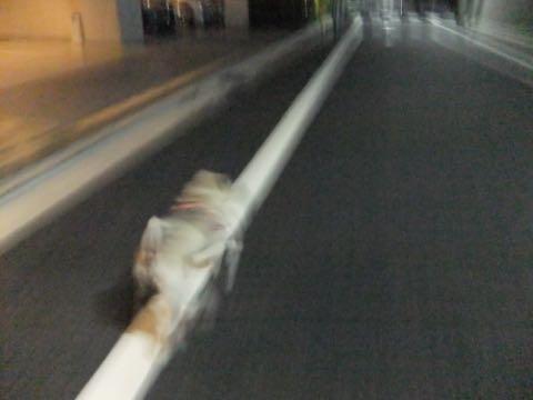 パグトリミング画像フントヒュッテ文京区ペットホテル様子おさんぽ犬おあずかり東京パグ夏短頭種とは鼻ぺちゃ犬パグ性格特徴色Pug_133.jpg