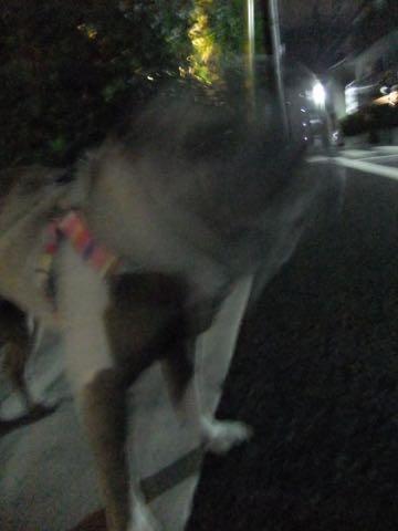パグトリミング画像フントヒュッテ文京区ペットホテル様子おさんぽ犬おあずかり東京パグ夏短頭種とは鼻ぺちゃ犬パグ性格特徴色Pug_135.jpg