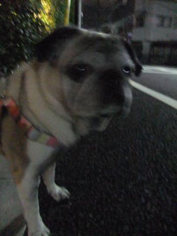 パグトリミング画像フントヒュッテ文京区ペットホテル様子おさんぽ犬おあずかり東京パグ夏短頭種とは鼻ぺちゃ犬パグ性格特徴色Pug_136.jpg