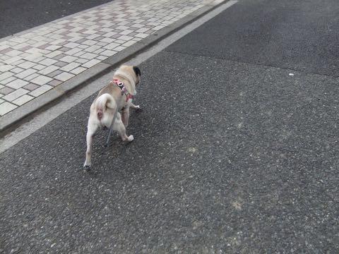 パグトリミング画像フントヒュッテ文京区ペットホテル様子おさんぽ犬おあずかり東京パグ夏短頭種とは鼻ぺちゃ犬パグ性格特徴色Pug_142.jpg
