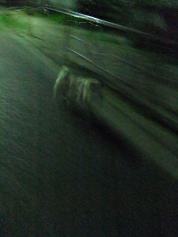 パグトリミング画像フントヒュッテ文京区ペットホテル様子おさんぽ犬おあずかり東京パグ夏短頭種とは鼻ぺちゃ犬パグ性格特徴色Pug_147.jpg