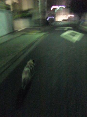 パグトリミング画像フントヒュッテ文京区ペットホテル様子おさんぽ犬おあずかり東京パグ夏短頭種とは鼻ぺちゃ犬パグ性格特徴色Pug_148.jpg